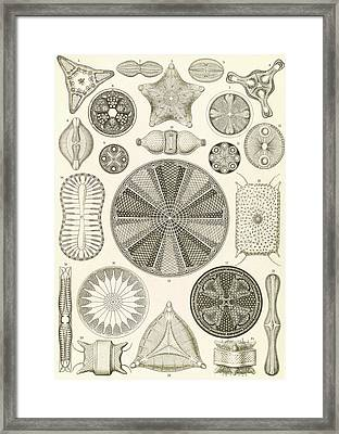 Illustration Shows Algae. Diatomea. - Schachtellinge Framed Print