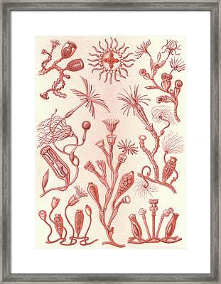 Illustration Shows Aquatic Animals. Campanariae Framed Print by Artokoloro