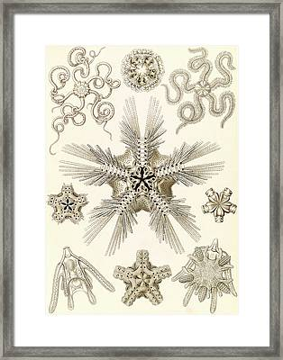 Illustration Shows Marine Invertebrates Related To Starfish Framed Print by Artokoloro