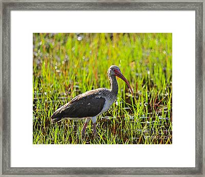Immature Ibis Framed Print by Al Powell Photography USA