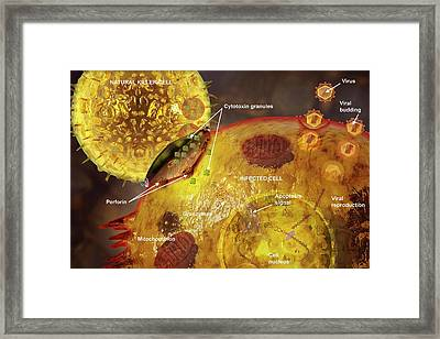 Immune Synapse Framed Print by Carol & Mike Werner