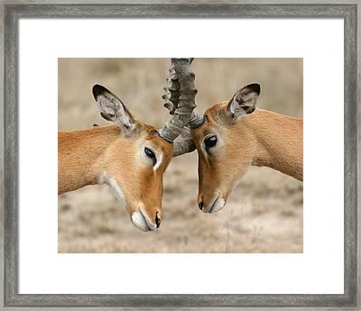 Impala Nudge - Selenium Toned Framed Print