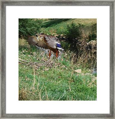 Framed Print featuring the photograph In Flight by Ramona Whiteaker