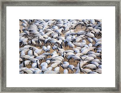 India, Rajasthan, Khichan Village Framed Print by Emily Wilson