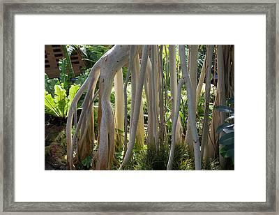 Indian Banyan Tree (ficus Benghalensis) Framed Print