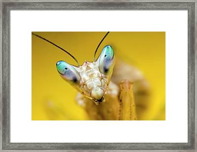 Indian Flower Mantis Framed Print