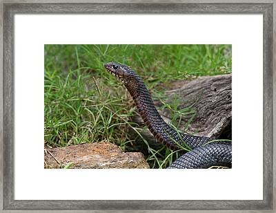 Indigo Snake (drymarchon Corais Framed Print by Larry Ditto