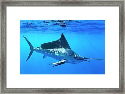 Indo-pacific Sailfish Framed Print