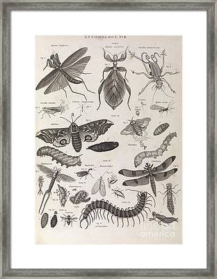 Insect Illustrations, 1823 Framed Print by Middle Temple Library