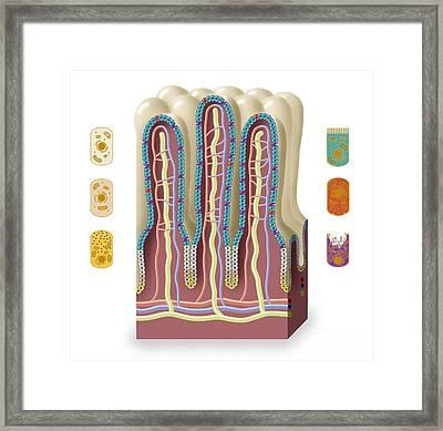 Intestinal Villi Anatomy, Artwork Framed Print by Art for Science