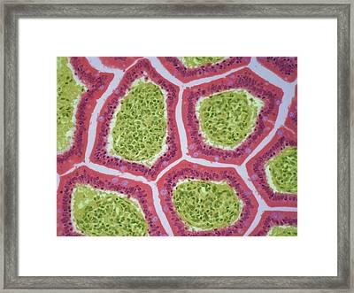 Intestinal Villi Framed Print