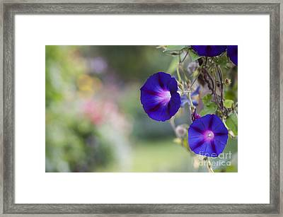 Ipomoea Morning Glory Flowers Framed Print by Tim Gainey