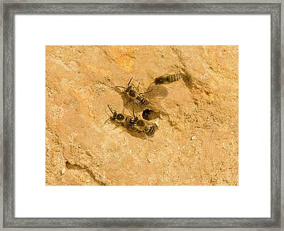 Ivy Bees Nesting In A Cliff Framed Print by Bob Gibbons