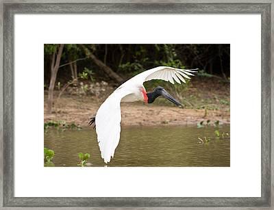 Jabiru Stork Jabiru Mycteria In Flight Framed Print by Panoramic Images