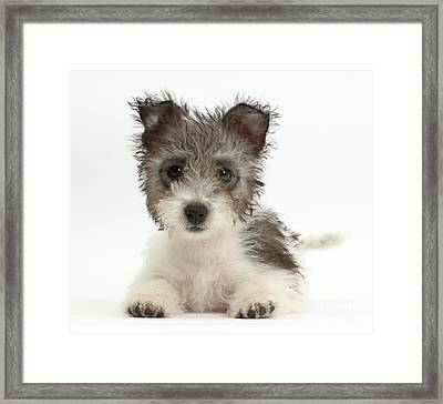 Jack Russell X Westie Pup Framed Print by Mark Taylor