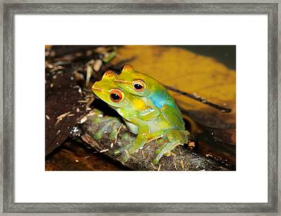Jade Tree Frogs Mating Framed Print by Fletcher & Baylis