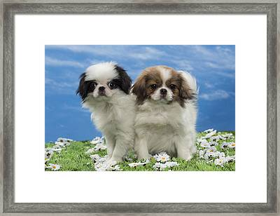Japanese Chin Puppies Framed Print by Jean-Michel Labat