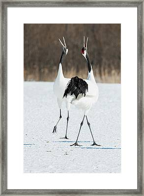 Japanese Cranes Displaying Framed Print