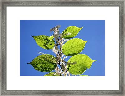 Japanese Knotweed Framed Print by Alex Hyde