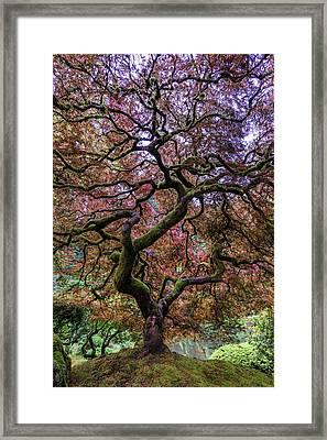 Japanese Maple Tree Framed Print