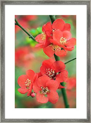 Japanese Quince (chaenomeles Japonica) Framed Print by Maria Mosolova