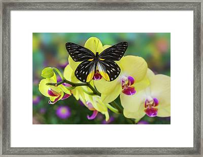 Jezebels Butterfly, Delias Species Framed Print