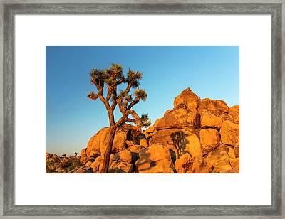 Joshua Tree (yucca Brevifolia) Framed Print by Michael Szoenyi