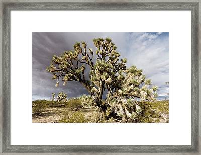 Joshua Trees (yucca Brevifolia) Framed Print by Science Photo Library