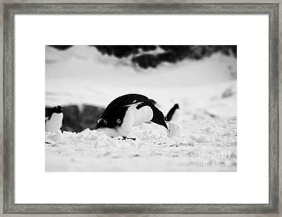 juvenile gentoo penguin rolling picking up ball of snow at Neko Harbour arctowski peninsula Antarcti Framed Print by Joe Fox