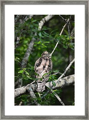 Juvenile Red Shouldered Hawk Framed Print by Jai Johnson