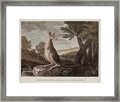 Kangaroo Framed Print