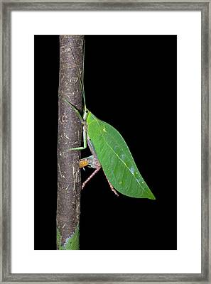 Katydid Laying Eggs Framed Print