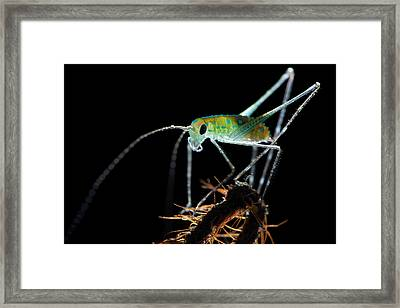 Katydid Framed Print