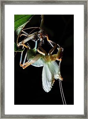 Katydid Moulting Framed Print
