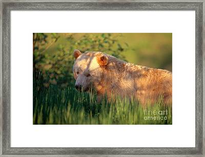 Kermode Bear Framed Print by Art Wolfe