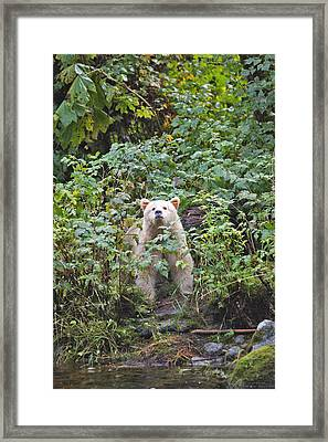 Kermode Or Spirit Bear Framed Print by M. Watson