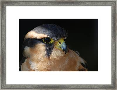 Kestrel Falcon Framed Print