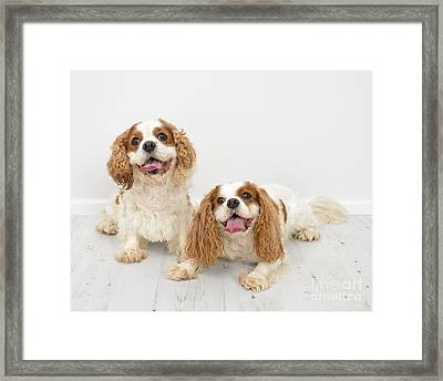 King Charles Spaniel Dogs Framed Print