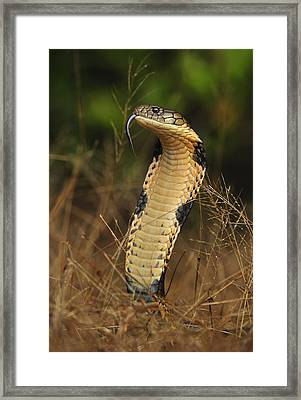King Cobra Agumbe Rainforest India Framed Print by Thomas Marent