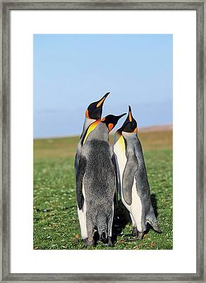 King Penguin (aptenodytes Patagonica Framed Print by Martin Zwick