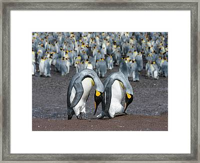 King Penguin (aptenodytes Patagonicus Framed Print by Martin Zwick