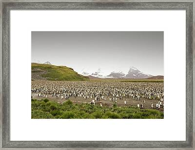 King Penguin Colony On Salisbury Plain Framed Print