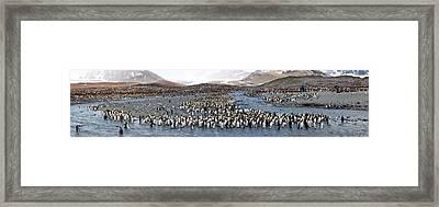 King Penguins Aptenodytes Patagonicus Framed Print
