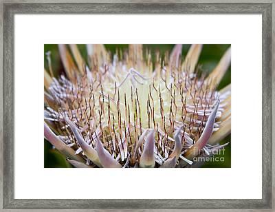 King Protea  - Protea Cynaroides - Kula Maui Hawaii Framed Print by Sharon Mau
