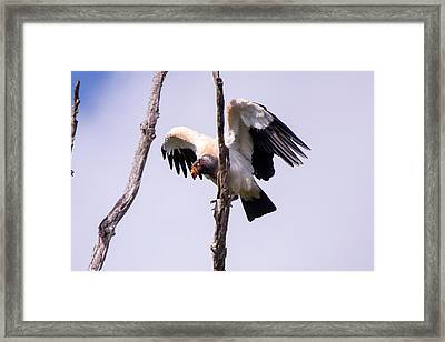 King Vulture Sarcoramphus Papa Framed Print by Leonardo Mer�on