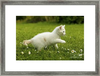 Kitten Playing In Grass Framed Print
