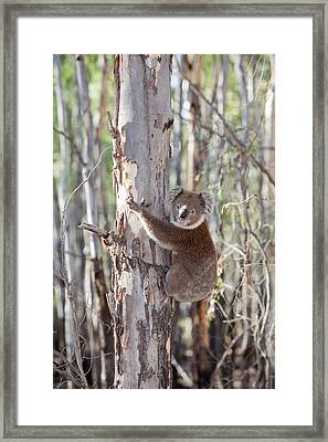 Koala Bear Framed Print by Ashley Cooper