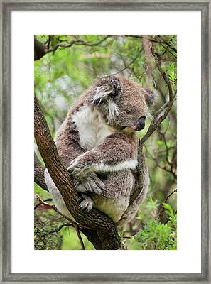 Koala (phascolarctos Cinereus Framed Print by Martin Zwick