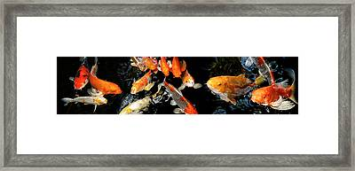 Koi Carp Swimming Underwater Framed Print by Panoramic Images