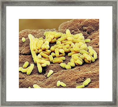 Lactobacillus Bacteria Framed Print by Steve Gschmeissner